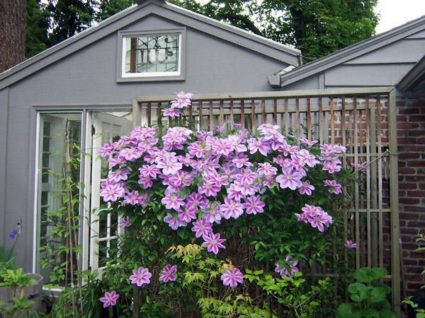 ok ji radda garden spring clematis 39 nelly moser 39. Black Bedroom Furniture Sets. Home Design Ideas